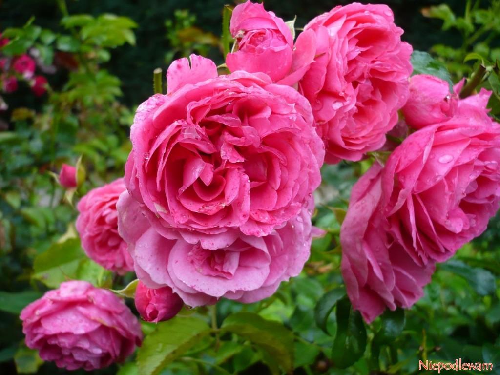 Róża Moin Moin ma kwiaty w stylu retro w różowym kolorze. Fot. Niepodlewam