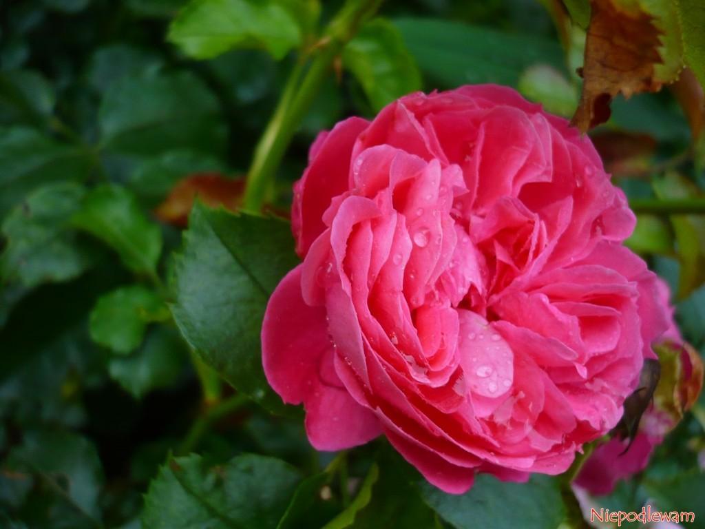 Każdy kwiat róży Moin Moin  ma 50 płatków. Kształtem przypominają piwonie. Fot. Niepodlewam