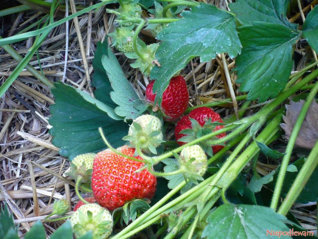 Nawożenie truskawek latem wykonuje się po zbiorze ostatnich owoców. Najczęściej to początek lipca (VII). Fot. Niepodlewam