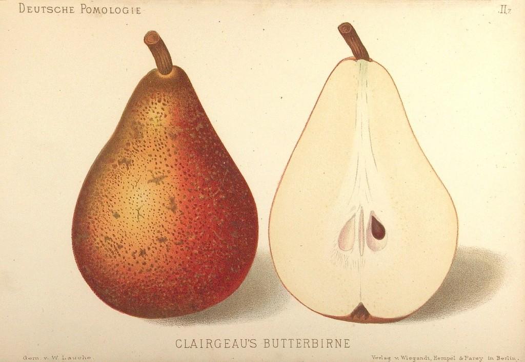 """Grusza Krzywka – rysunek zksiążki """"Deutsche Pomologie"""" Wilhelma Lauche z1882-1883, zezborów biblioteki Wageningen UR. WPolsce jest też znana jako grusza Klergo."""