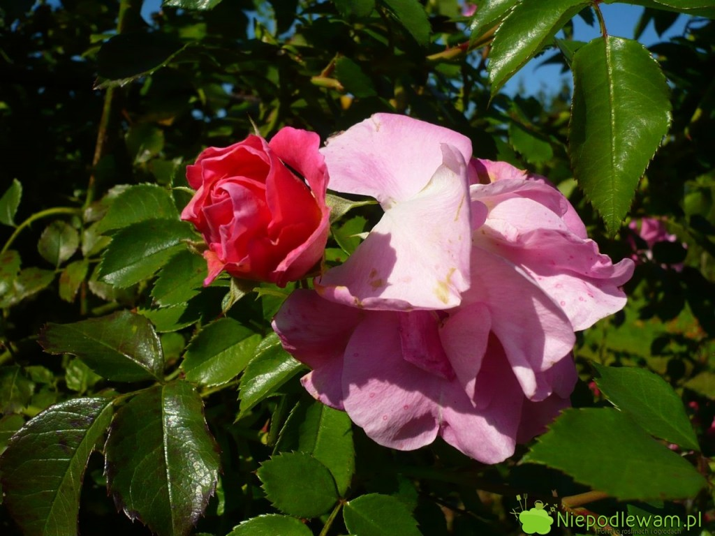 Przekwitłe główki kwiatów trzeba obcinać. Dzięki temu róża Manita wypuszcza więcej pąków. Fot.Niepodlewam