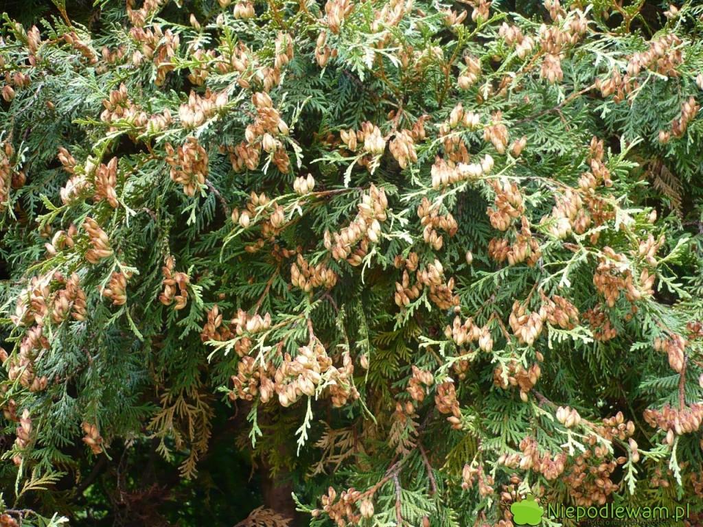 Liczne szyszki to cecha charakterystyczna na starszych żywotnikach zachodnich Globosa. Tak krzewy wyglądają w sierpniu (VIII). Fot. Niepodlewam