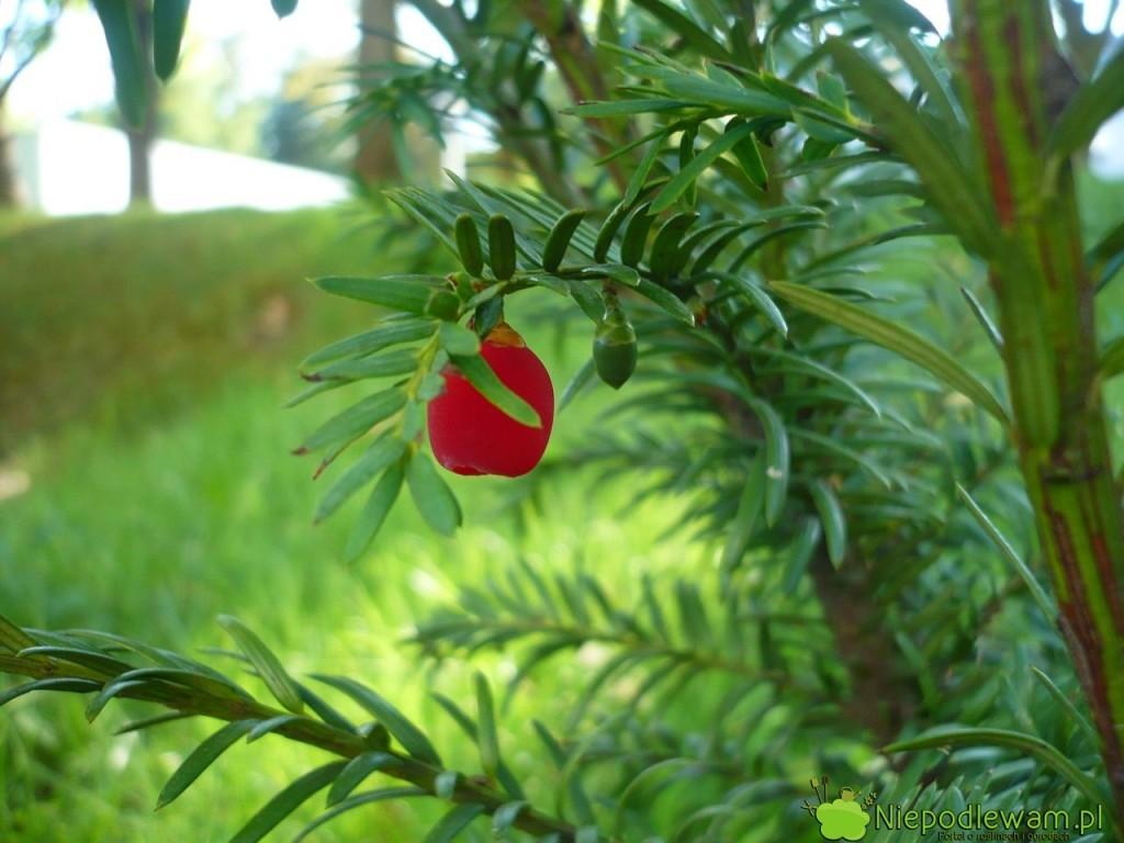 Cis pospolity Elegantissima to odmiana żeńska, wcześnie zawiązująca czerwone nibyjagody, zwane popularnie owocami. Ten egzemplarz rośnie przed Operą i Filharmonią Podlaską w Białymstoku. Fot. Niepodlewam