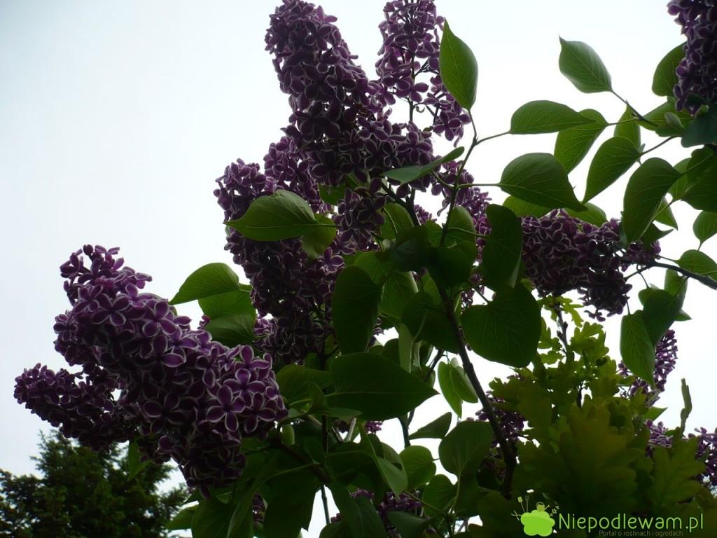 Bez Sensation jest zjawiskowy wczasie kwitnienia. Pięknie pachnie, kwiatostany są wyprostowane izwracają uwagę dwubarwnymi kwiatami. Fot.Niepodlewam