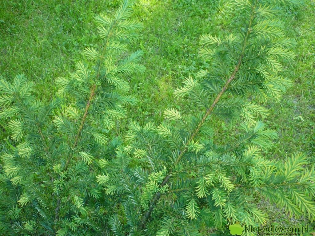 Cisy pospolite Egenatissima dobrze rosną naczęsto podlewanych trawnikach. Fot.Niepodlewam