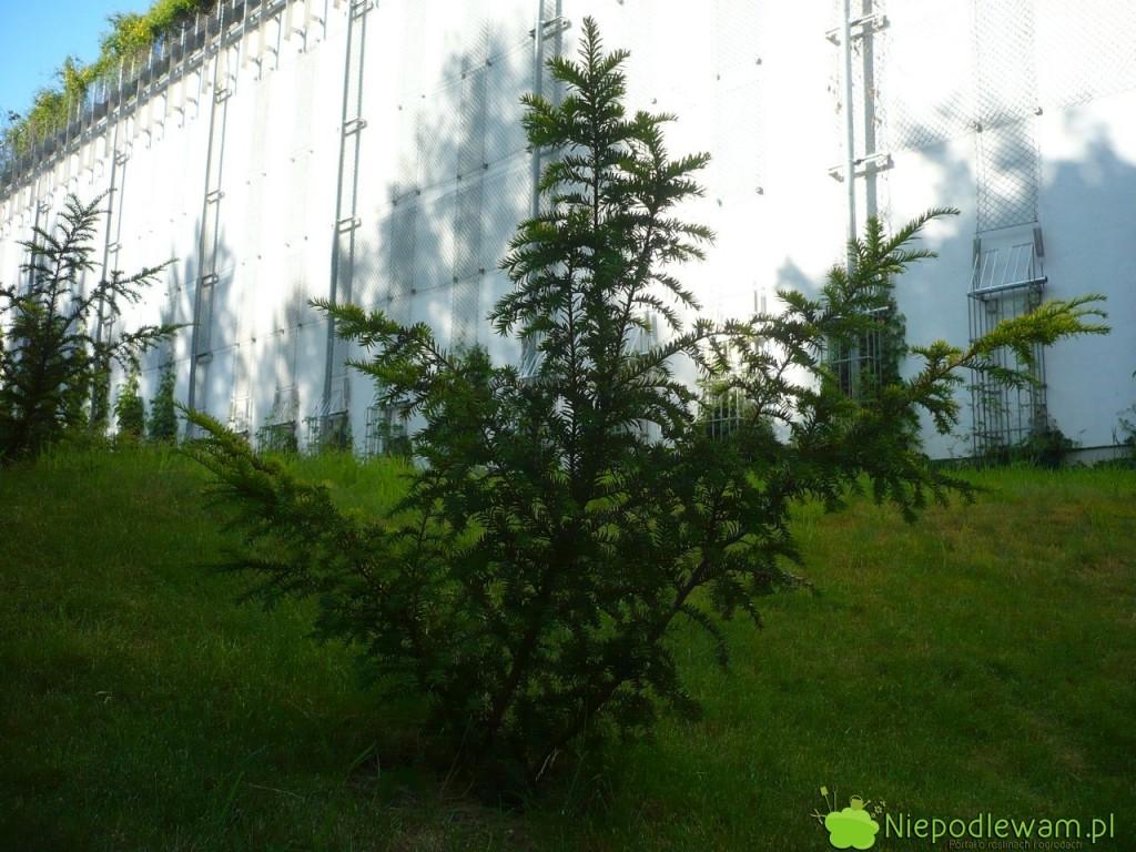 Cis pospolity Elegantissima ma nieregularny, rozłożysty pokrój. Fot. Niepodlewam
