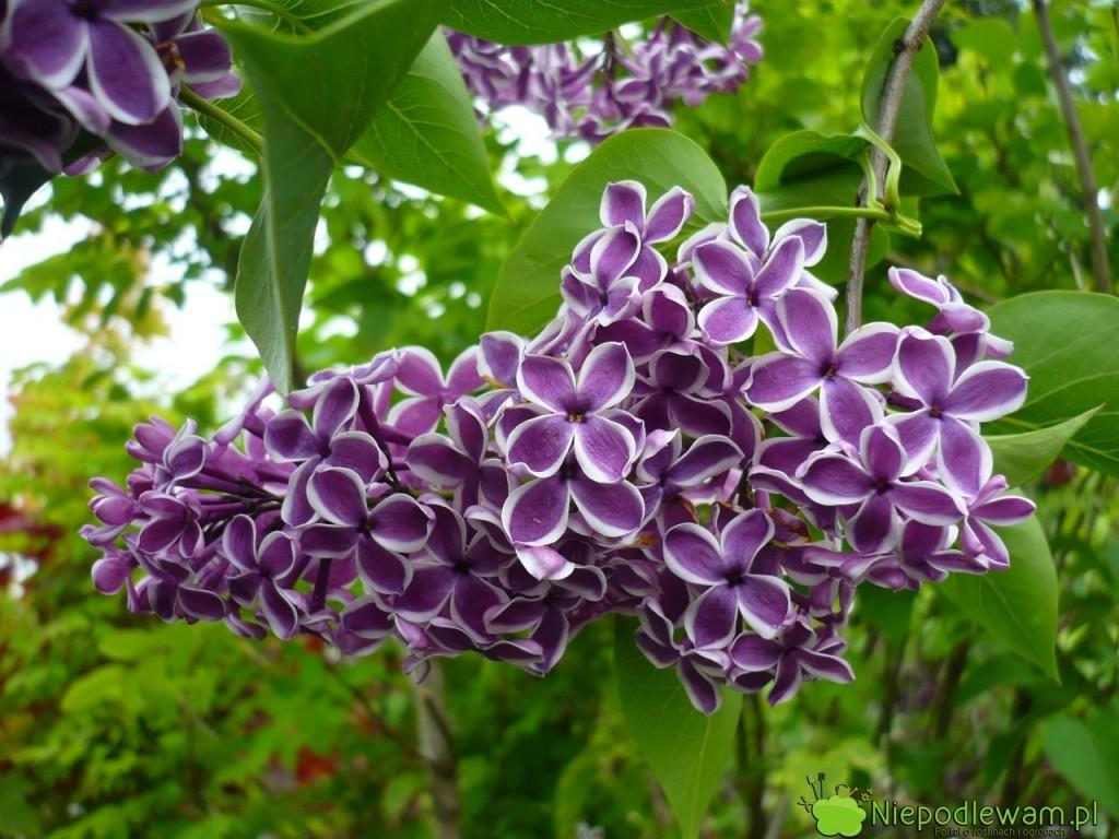 Lilak pospolity Sensation to stara odmiana z 1938 roku. Ma biało-fioletowe, pojedyncze kwiaty, które mocno pachną. Fot. Niepodlewam
