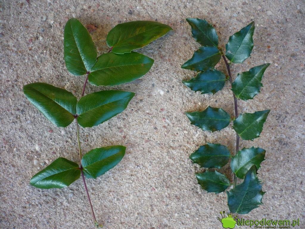 Mahonia pospolita (nietrująca) ma liście podobne do ostrokrzewu kolczastego (trującego). Po lewej stronie jest liść mahonii, a po prawej - ostrokrzewu. Fot. Niepodlewam