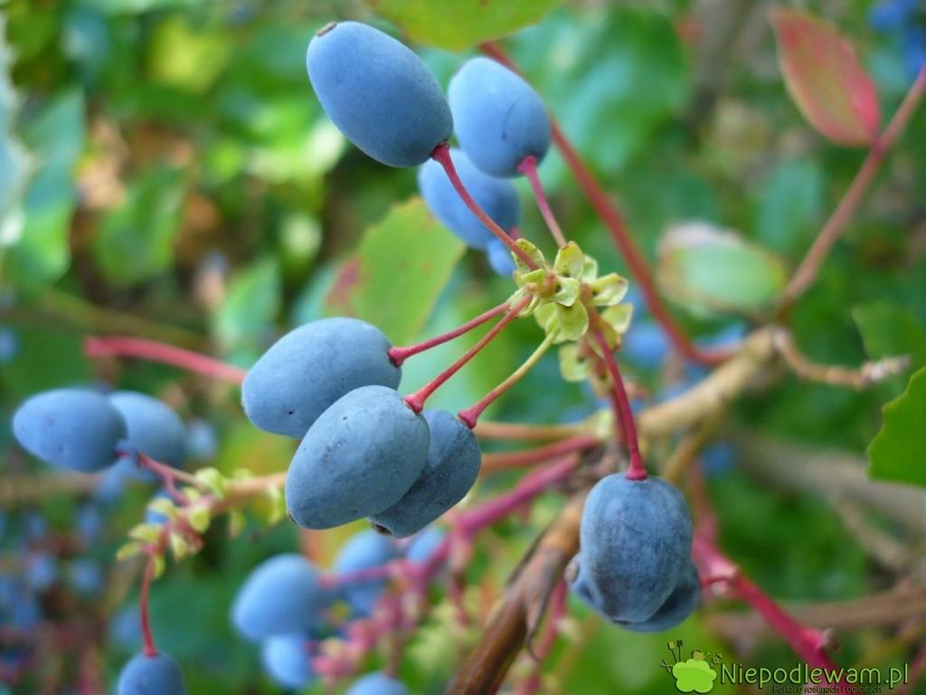 Owoce mahonii pospolitej są jadalne. Nadają się np. na nalewki. Fot. Niepodlewam