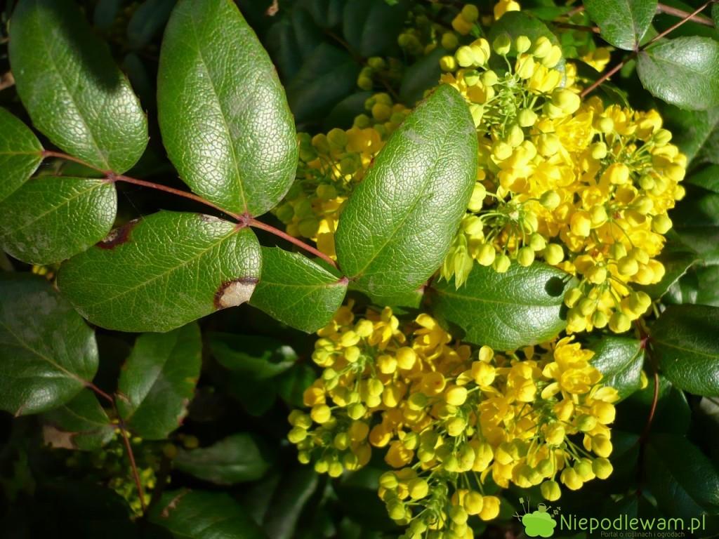 Mahonia ma żółte, przyjemnie pachnące kwiaty. Zwabiają pszczoły. Fot. Niepodlewam