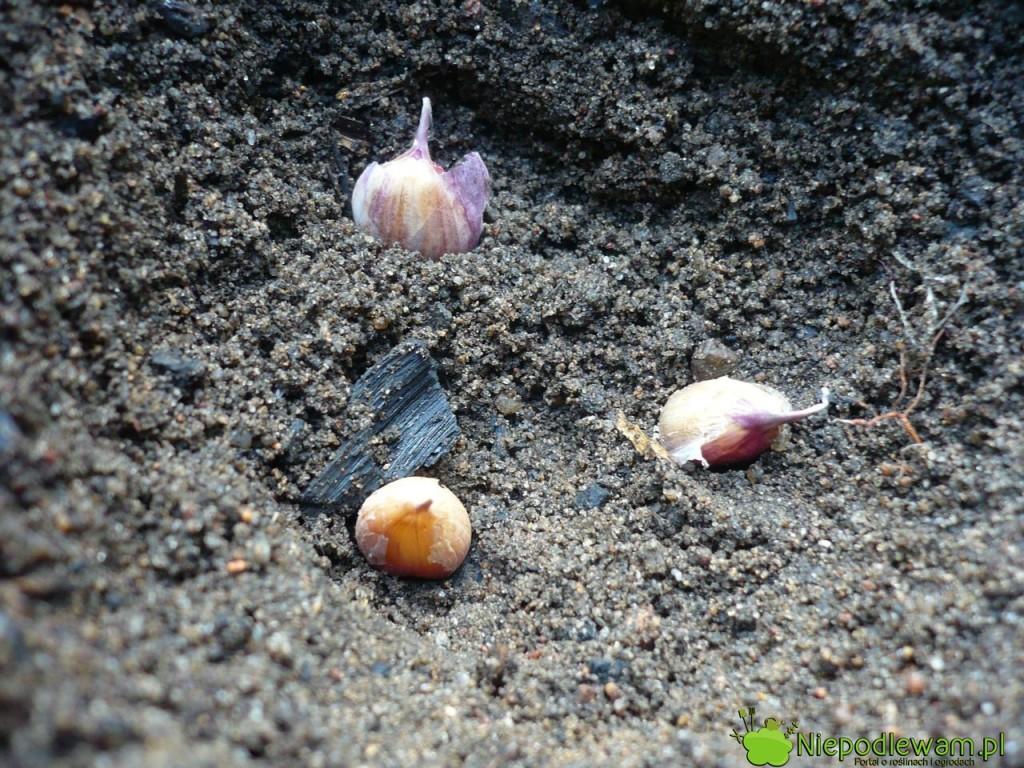 Sadzenie czosnku gniazdowo. Fot. Niepodlewam