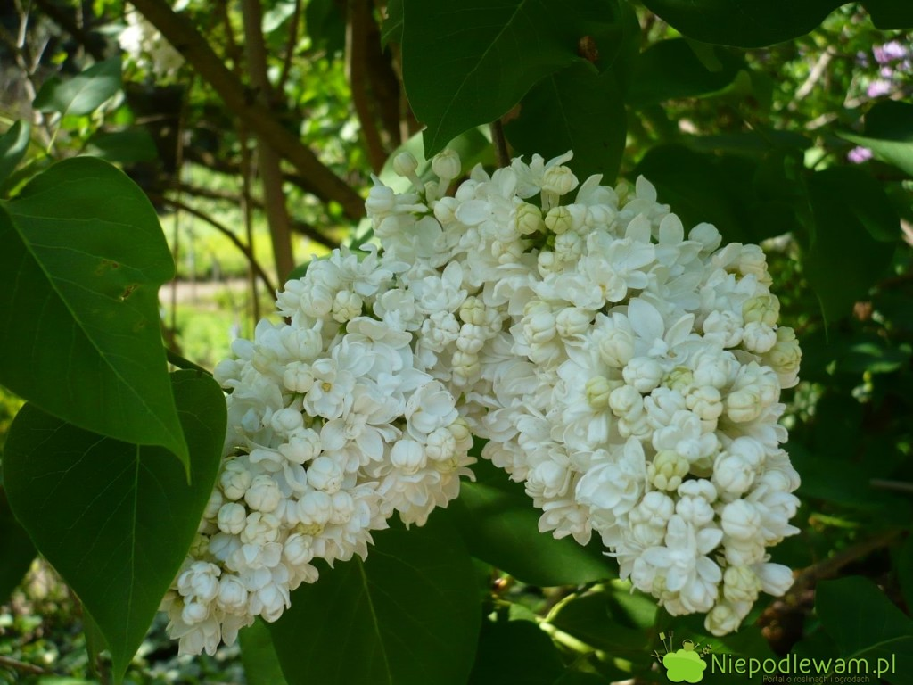 Cięcie sprawia, że lilak pospolity Edith Cavell ma dużo ogromnych kwiatostanów. Fot. Niepodlewam