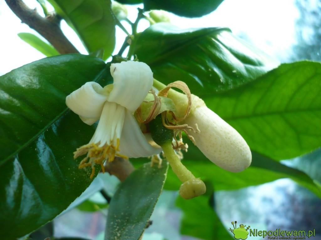 Kwiaty cytryny mocno i przyjemnie pachną. Można je zrywać i wrzucać np. do herbaty. Fot. Niepodlewam