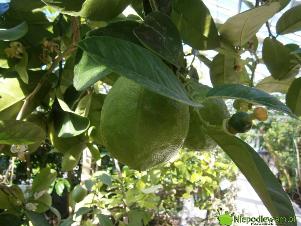 Cytryna ponderoza to krzyżówka cytryny zwyczajnej oraz cytronu. Na parapetach także rośnie i owocuje bardzo dobrze. Fot. Niepodlewam