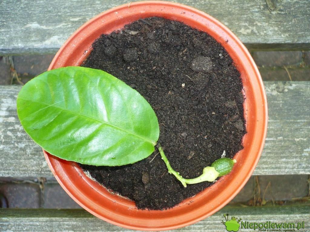Sadzonki cytryny prawie od razu zaczynają kwitnąć i owocować. Zawiązki owoców trzeba usuwać, by sadzonka mogło podrosnąć. Fot. Niepodlewam