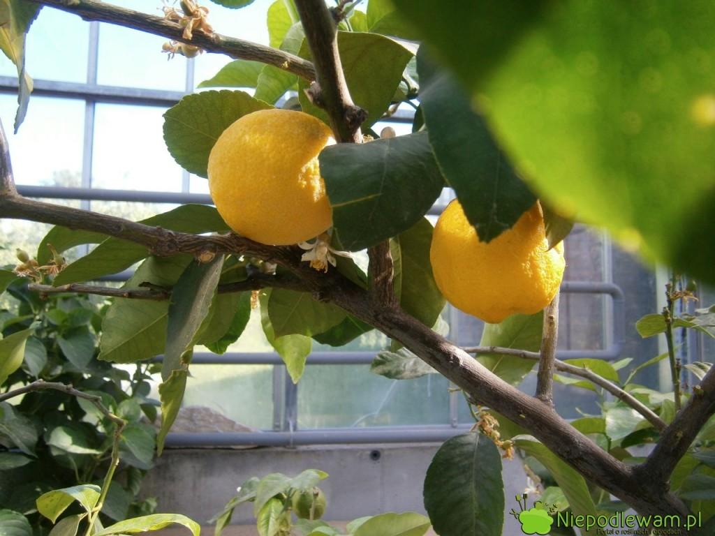 Cytryna zwyczajna bardzo dobrze owocuje w donicach, zwłaszcza w dużych. Na zdjęciu jest odmiana Villafranca. Fot. Niepodlewam