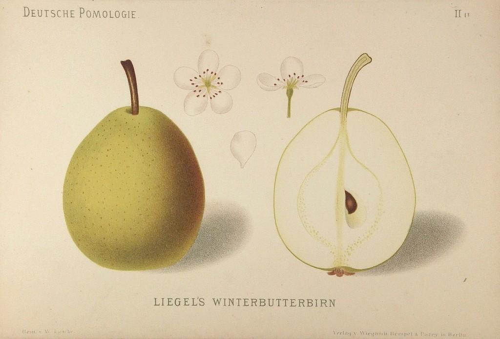 """Grusza Bera Liegela – rysunek zksiążki """"Deutsche Pomologie"""" Wilhelma Lauche z1882-1883, zezborów biblioteki Wageningen UR. WPolsce znana jest także jako Bera Ligla iLigla Masłówka."""
