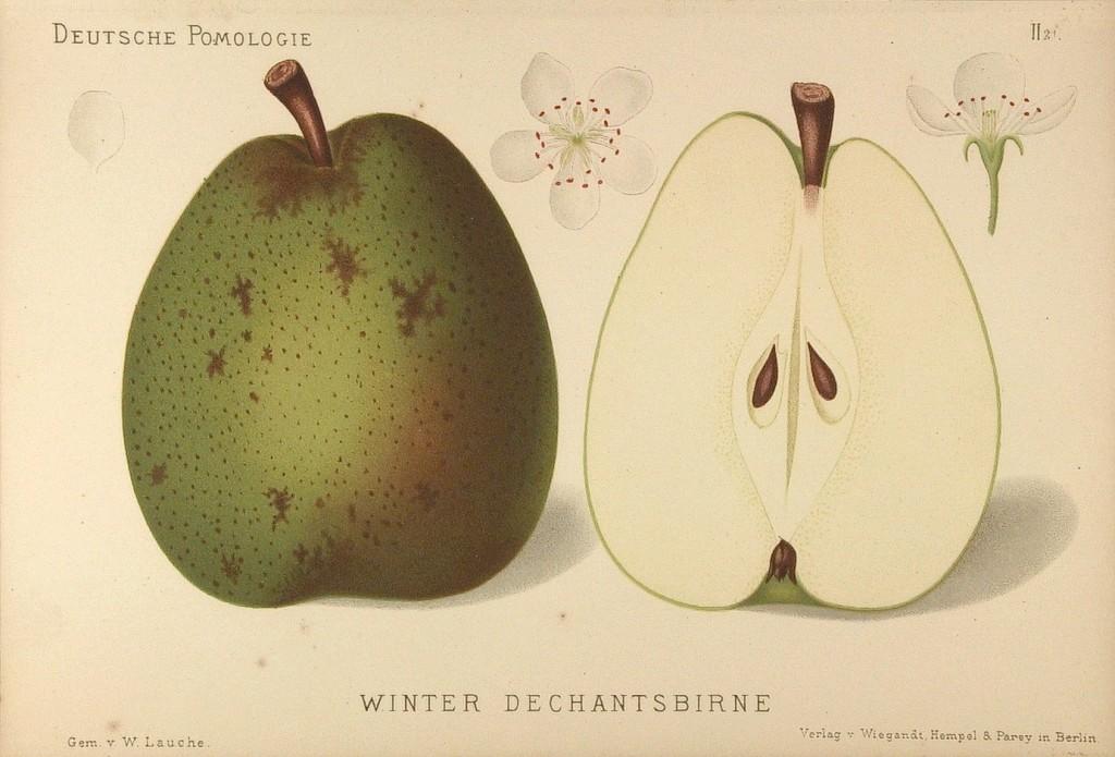 """Grusza Duanna Zimowa – rysunek zksiążki """"Deutsche Pomologie"""" Wilhelma Lauche z1882-1883, zezborów biblioteki Wageningen UR. WPolsce jest też nazywana Dziekanka Zimowa, bo toodmiana pochodząca zklasztoru kapucynów, nadająca się dojedzenia zimą."""