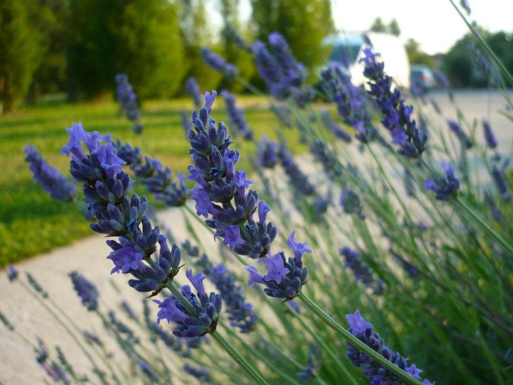 Lawenda najlepiej rośnie w słonecznych miejscach. Ze względu na piękny zapach warto ją sadzić np. blisko ścieżek.