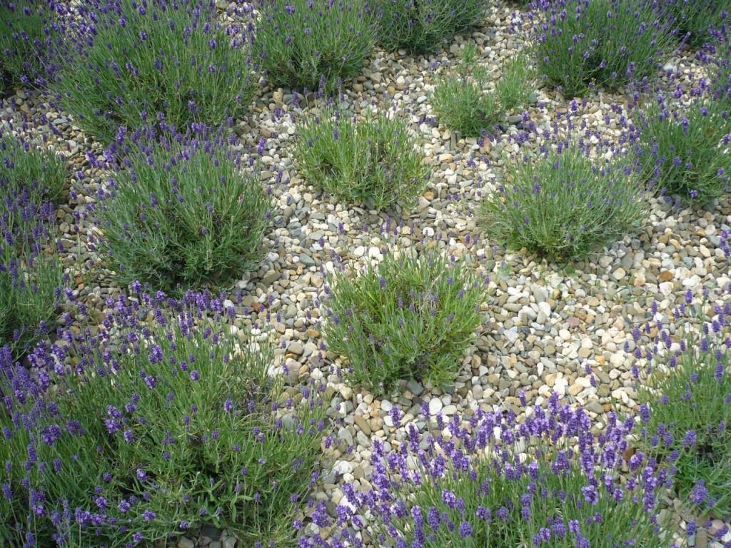 Lawendę można ściółkować kamykami. Podnoszą temperaturę stanowiska, co lawenda lubi. Idealne są kamienie zeskał wapiennych. Takposadzona lawenda świetnie zastępuje trawnik.