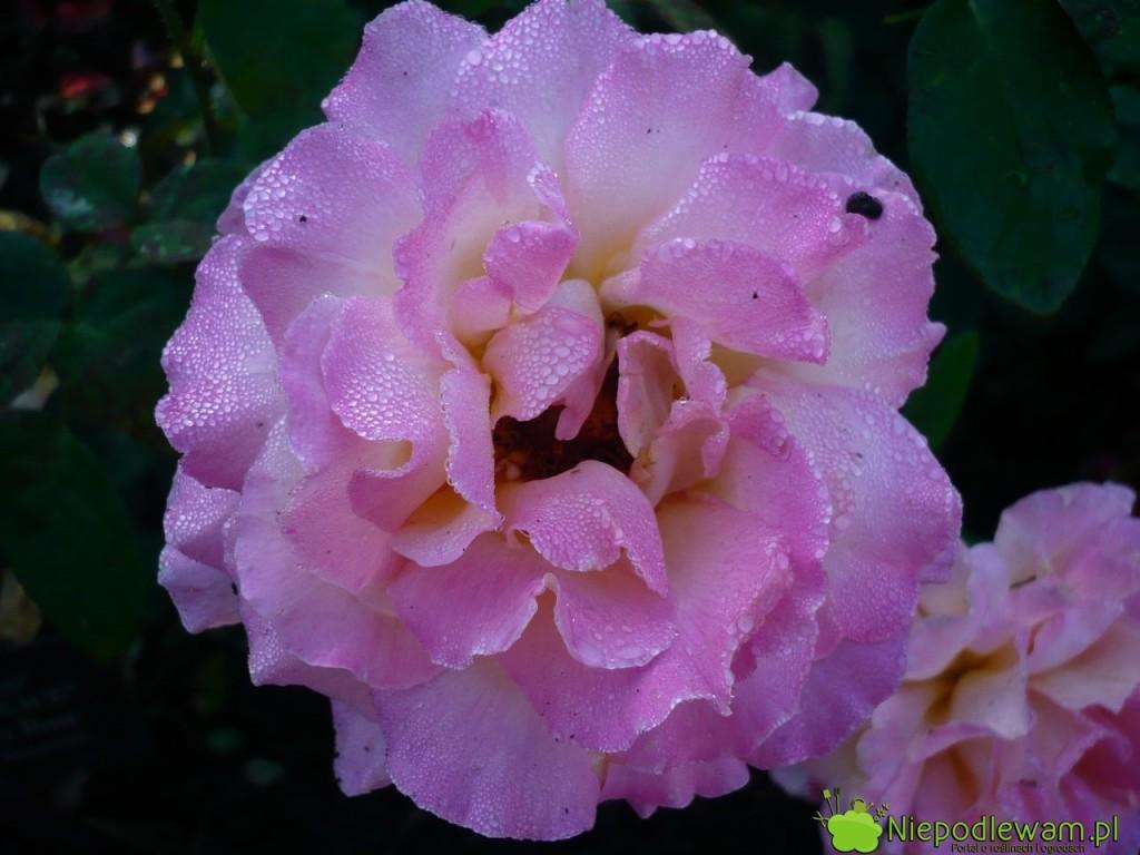 Róża Chicago Peace jest różowa z żółtymi cieniowaniami wewnątrz kwiatów. Delikatnie pachnie. Fot. Niepodlewam