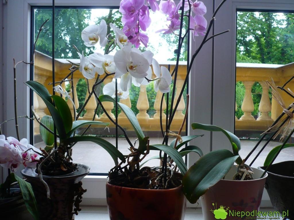 Storczyk falenopsis nie powinien mieć ani za sucho, ani za mokro. Tak wyglądają storczyki podlewane trochę za często i za rzadko przesadzane. Fot. Niepodlewam