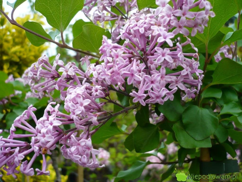 Lilak Meyera Palibin tostara, karłowa odmiana sprzed 1920 roku. Kwiaty są pojedyncze, fioletowe. Pachną średnio mocno. Fot.Niepodlewam