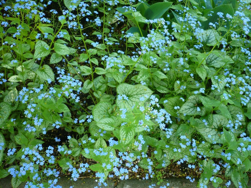 Jej niebieskie kwiatuszki przypominają popularne niezapominajki. Zupełnie inne są również liście: duże ipiękne. Fot.Niepodlewam