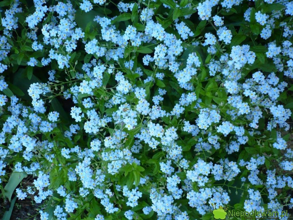 Niezapominajki zreguły mają niebieskie kwiatuszki. Zdarzają się także odmiany białe iróżowe. Fot.Niepodlewam