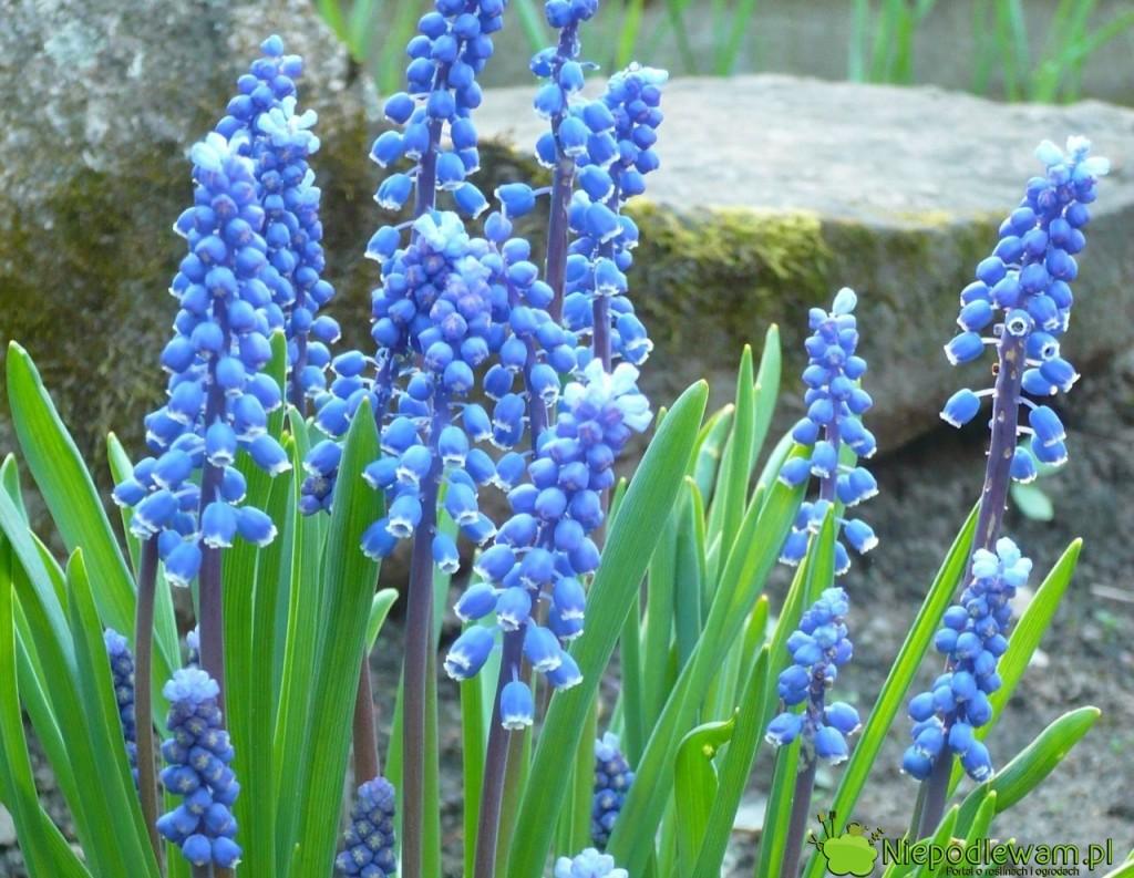 Niebieskie szafirki tonajpopularniejszy kolor tych kwiatów. Mogą być także białe. Fot.Niepodlewam