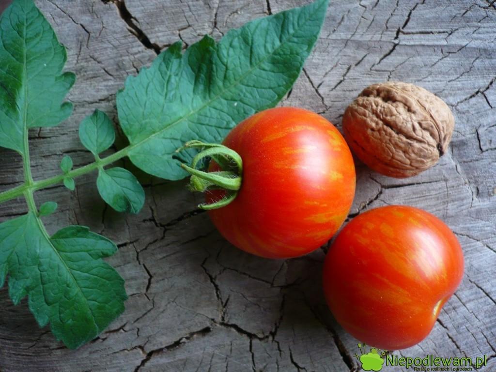 Pomidor Tigerella ma czerwone owoce wpaski. Są średniej wielkości. Fot.Niepodlewam
