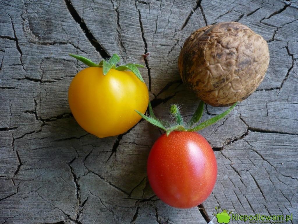 Pomidory koktajlowe: Aztek (żółty) i Malinowy Kapturek (czerwony). Fot. Niepodlewam