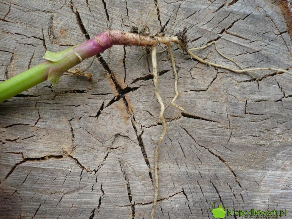 Szpinak ma słabe korzenie. Dlatego zasypanie rowków z nasionami kompostem, zamiast zwykłą ziemią, bardzo poprawia wzrost tego warzywa. Fot. Niepodlewam