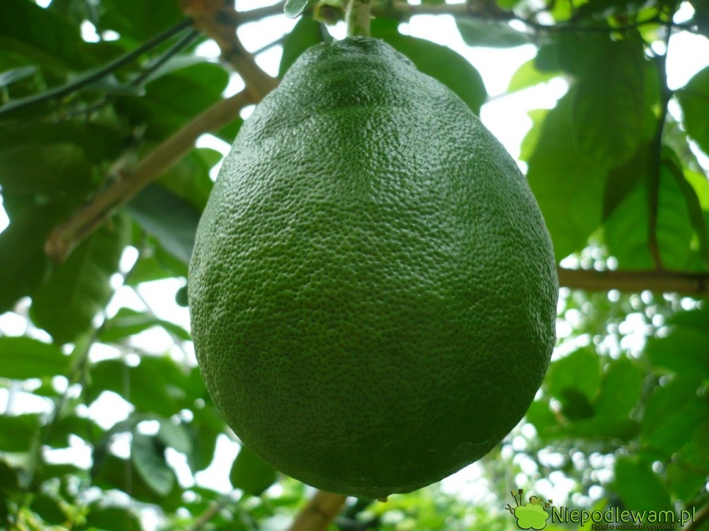 Cytryna skierniewicka (ponderoza) ma duże owoce. Mogą ważyć nawet 1 kg. Fot. Niepodlewam