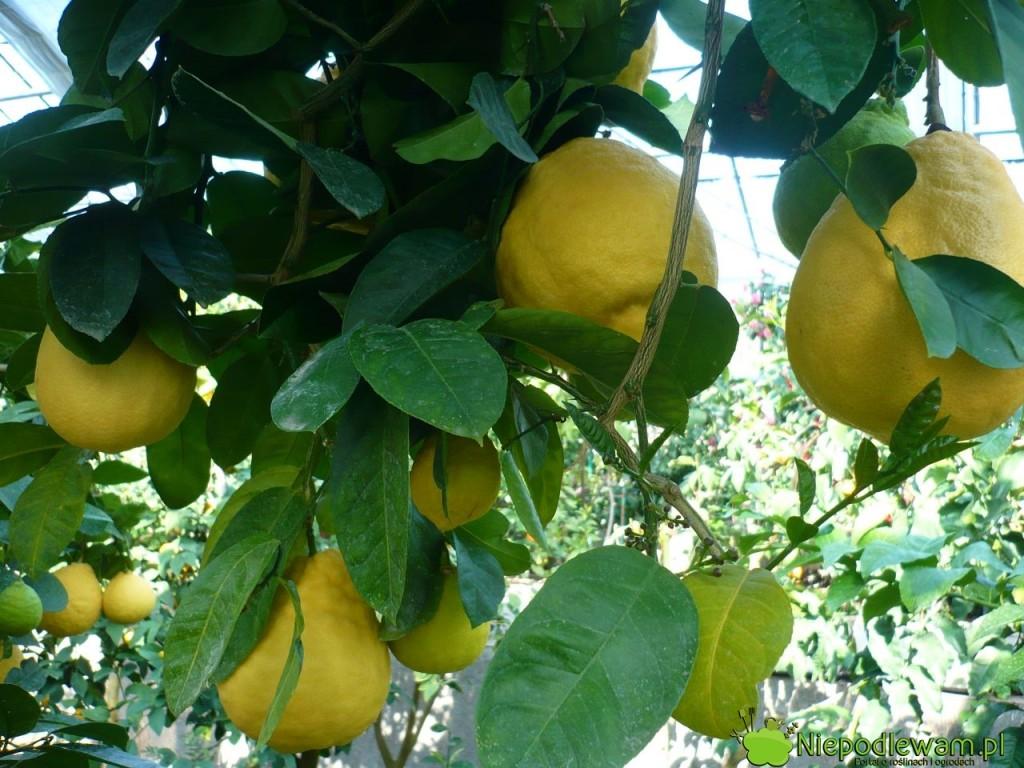 Najbardziej dorodne cytryny skierniewickie można wyhodować w oranżerii. Fot. Niepodlewam