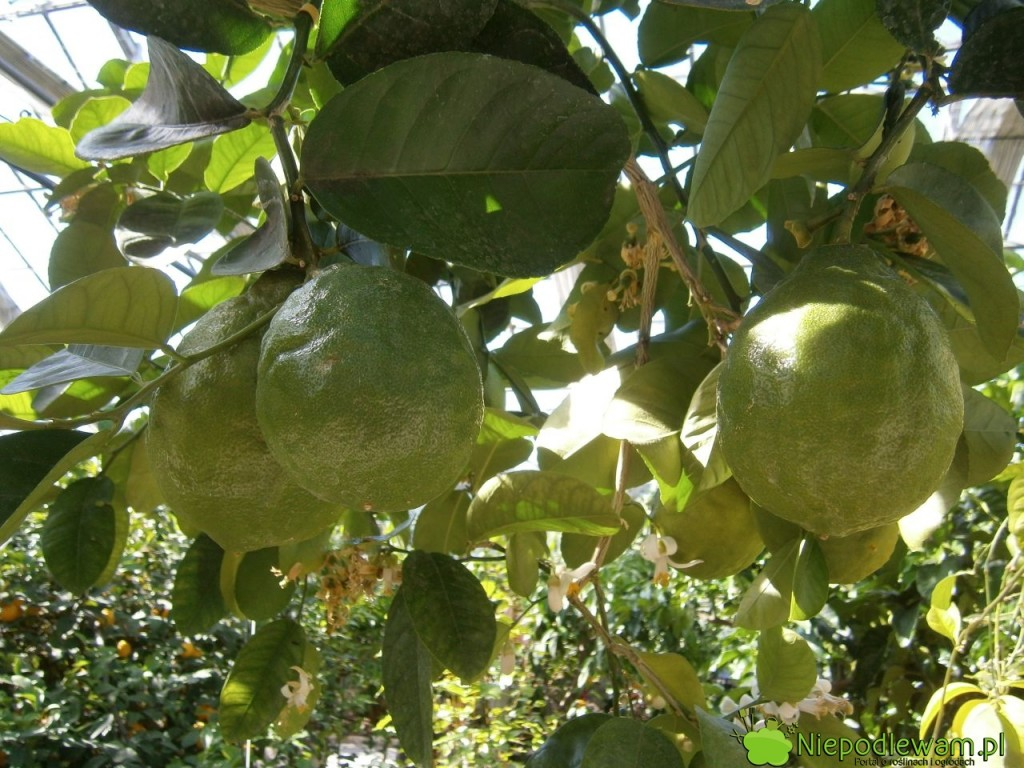 Cytryny skierniewickie dobrze plonują w donicach. Owoce rzadko dojrzewają tak, by miały żółtą skórkę. Fot. Niepodlewam