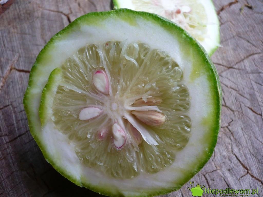 Cytryna skierniewicka (ponderoza) ma grubą skórkę, która można jeść. Fot. Niepodlewam