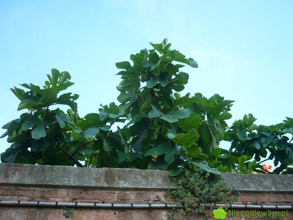W gruncie figi jadalne rosną i zimują najlepiej, jeśli są posadzone przy murowanych ogrodzeniach. Fot. Niepodlewam