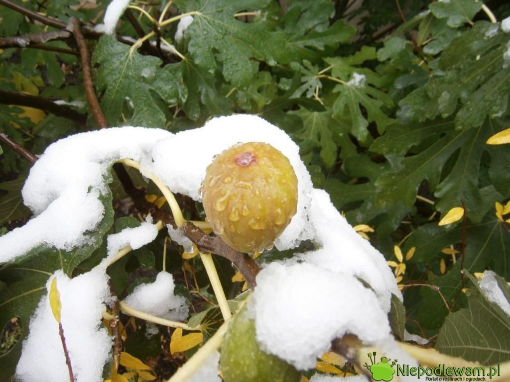Figa jadalna owocuje aż do pierwszych mrozów. Liście opadają na zimę. Fot. Niepodlewam