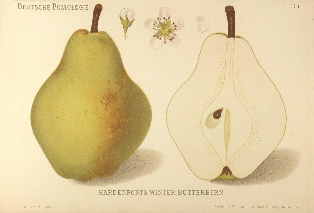 """Grusza Hardenpont Zimowa – rysunek zksiążki """"Deutsche Pomologie"""" Wilhelma Lauche z1882-1883, zezborów biblioteki Wageningen UR."""