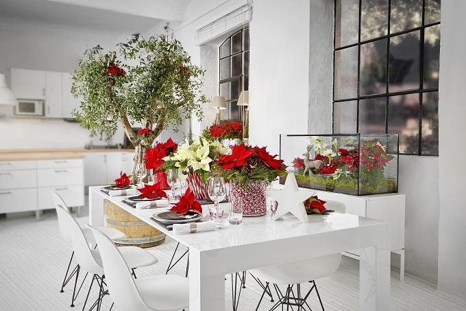 Gwiazda betlejemska (poinsecja) to popularna ozdoba stołów w okresie Bożego Narodzenia. Fot. Stars for Europe