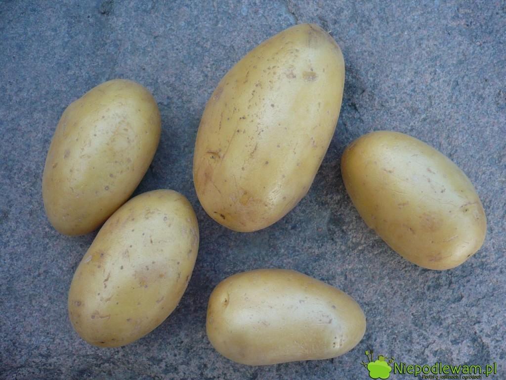 Obierek z ziemniaków nie należy wyrzucać na kompost. Mogą być źródłem zarazy ziemniaczanej pomidorów. Fot. Niepodlewam