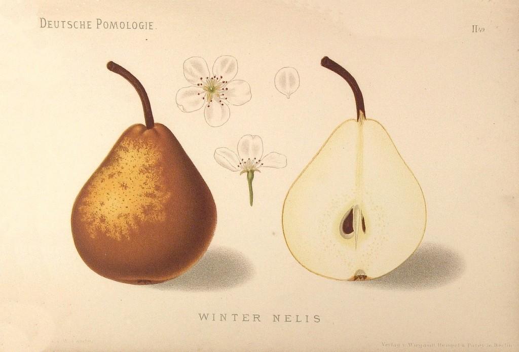 """Grusza Nelis Zimowa – rysunek zksiążki """"Deutsche Pomologie"""" Wilhelma Lauche z1882-1883, zezborów biblioteki Wageningen UR."""