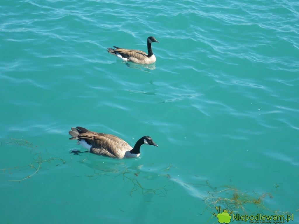 Guano może mieć różne pochodzenie, np. od ptaków wodnych. Popularne jest też guano nietoperzy. Fot. Niepodlewam