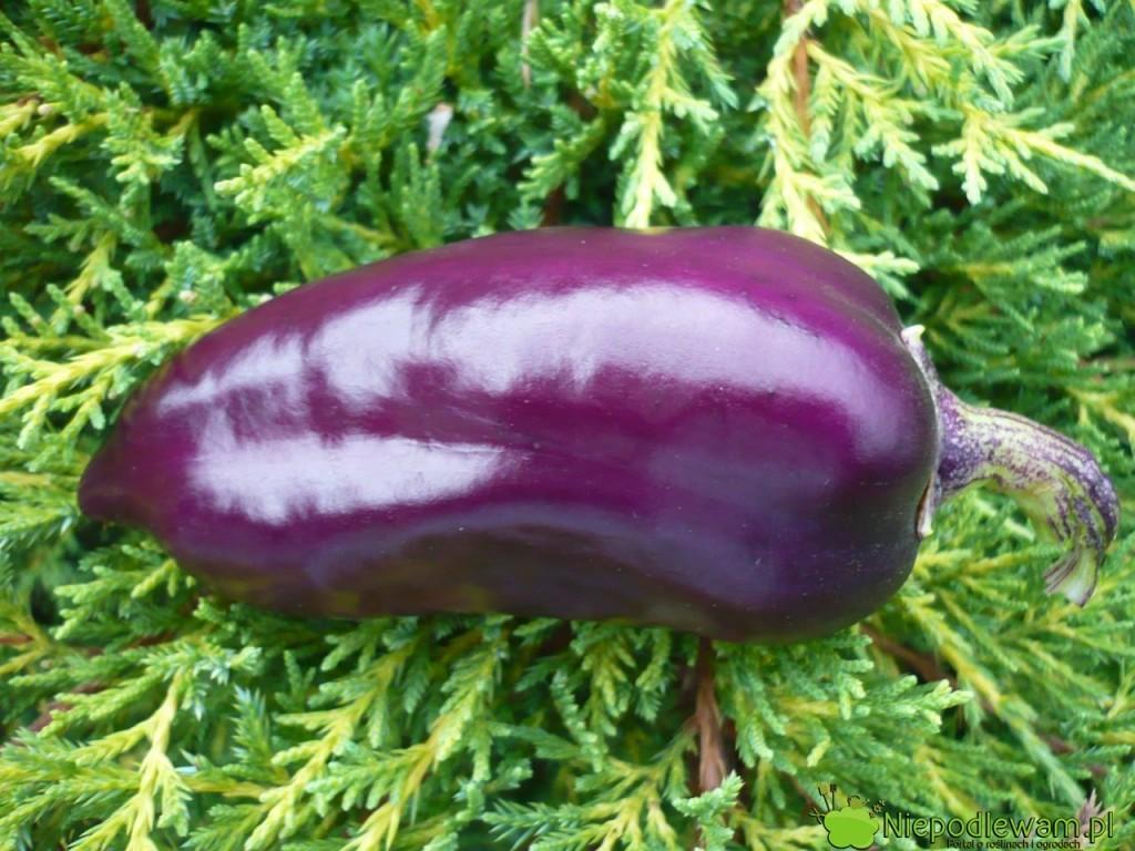 Papryka Oda ma fioletowe, słodkie owoce. Fot. Niepodlewam