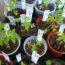 Rozsada warzyw – kiedy siać i sadzić w gruncie