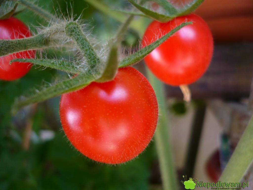 Pomidor. Fot. Niepodlewam