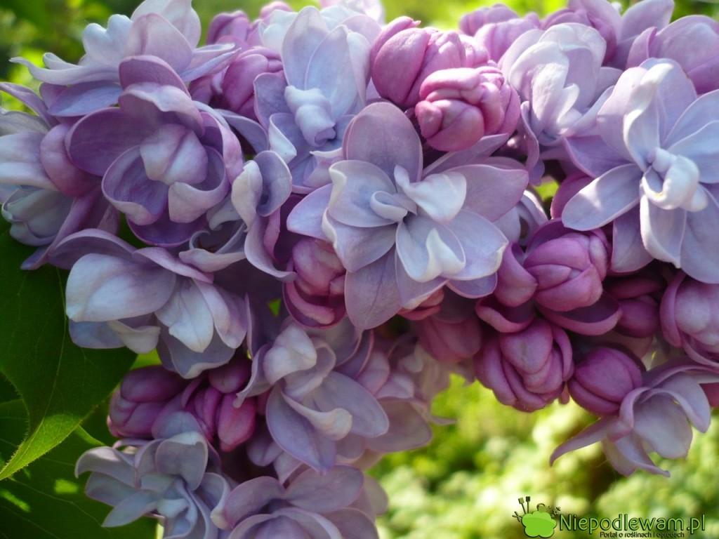 Kwiaty bzu Jules Simon są potrójne. Pięknie, średnio intensywnie pachną. Fot. Niepodlewam