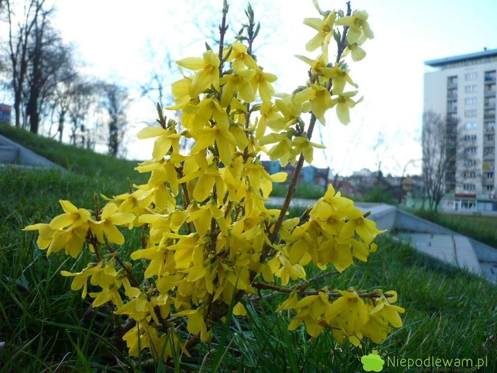 Forsycja pośrednia Primulina kwitnie naprzełomie marca ikwietnia. Toodmiana z1912 roku. Fot.Niepodlewam