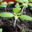 Rozsada pomidorów – kiedy i jak siać